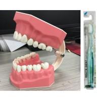 Model demonstrativ pentru periaj dentar + Bonus periuta de dinti Crystal Fresh (White Dent)