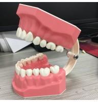 Model demonstrativ pentru periaj dentar + periuta de dinti
